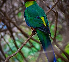 Red Capped Parrot by Jessica Loftus