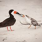 """Feeding Time"" - young black skimmer being fed by John Hartung"