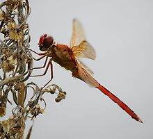 Close Up Red Dragonfly by Paulette1021