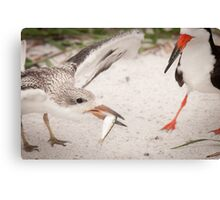 """Catch of the Day"" - mother feeds young black skimmer Canvas Print"