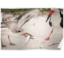 """""""Catch of the Day"""" - mother feeds young black skimmer Poster"""