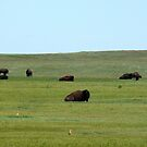 Bison and prairie dogs by dandefensor