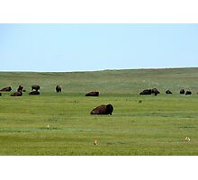 Bison and prairie dogs Photographic Print