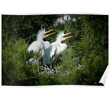 Young Great Egrets call out from nest Poster