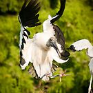 Woodstork Landing by John Hartung