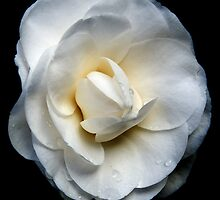 Tom's Camelia 20110810 1547 by Fred Mitchell