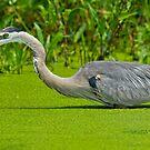 Great Blue Heron  by Daniel  Parent