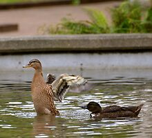 See, Now I'm a BIG Duck with BIG Wings! by Carol Clifford