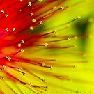 In Full Bloom - Calliandra by Ali Zaidi
