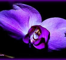 Purple Orchid by Lou Velez
