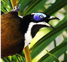 Blue-faced Honeyeater by Kristine Kowitz