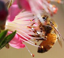 bee on nectarine blossom by paulinea