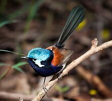 Red wing fairy Wren, Pemberton, Southwest Australia by Marc Russo