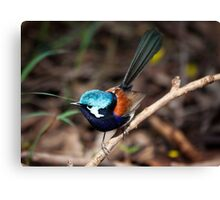 Red wing fairy Wren, Pemberton, Southwest Australia Canvas Print