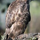 The Common Buzzard(buteo buteo) by Hovis