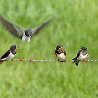 Swallows by Lifeware