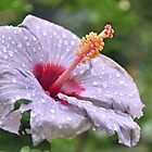 Violet hibiscus after the rain by IngeHG