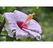 Violet hibiscus after the rain Photographic Print