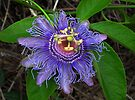 Beauty purple passiflora  by Irina777
