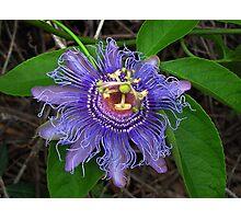 Beauty purple passiflora  Photographic Print