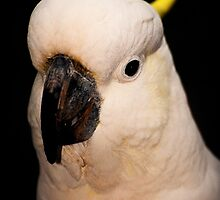 Portrait of a Cockatoo by Ryan Cawse