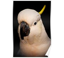 Portrait of a Cockatoo Poster