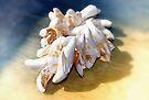 Viet Nam Sea Shells  by Elaine  Manley
