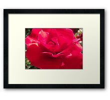 Rose of Rememberance Framed Print
