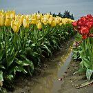 Tulips by David Preston