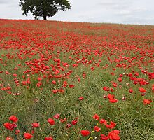Poppies! by Christopher Cullen