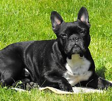 Super French Bulldog