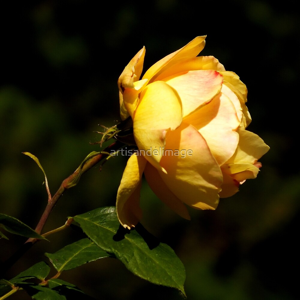 Roses Of Portland ~ Part Two by artisandelimage