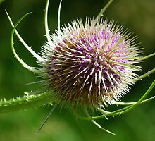 Teasel by Lynn Bolt