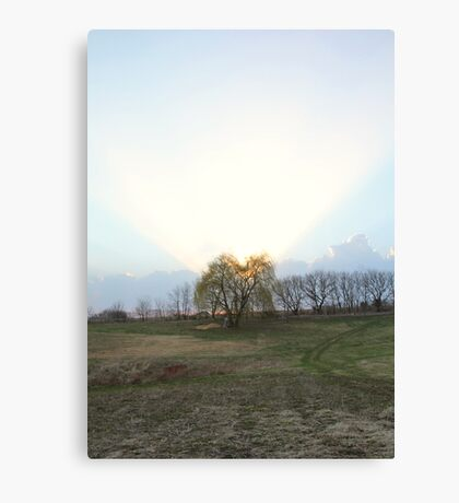 Halo Willow Canvas Print