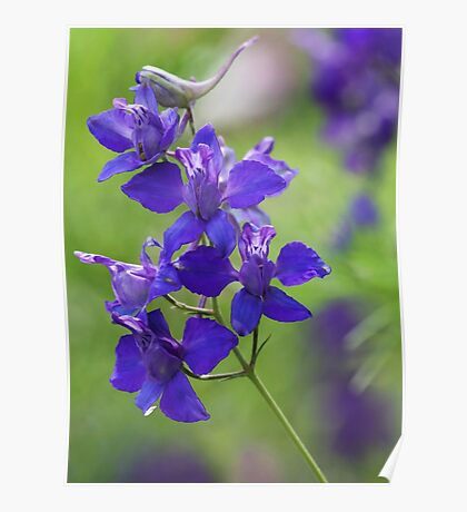 Purple Larkspur Poster