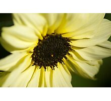 Sunflower Introspection  Photographic Print