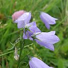 Hare Bells in the Rain by mikequigley