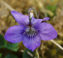 Common Dog-Violet on brown in culdaff by Conor Donaghy