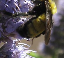bumble on lavender by Christine Ford