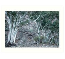 Red Gums in the Creek Art Print