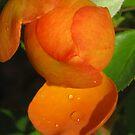 orange rose bud closeup by Christine Ford