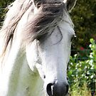 Connemara Pony Stallion by ConnemaraPony