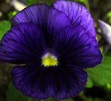 Purple Pansy by Judy Wanamaker