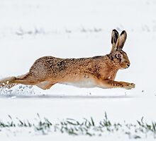 Brown Hare running in the Snow by Richard Nicoll