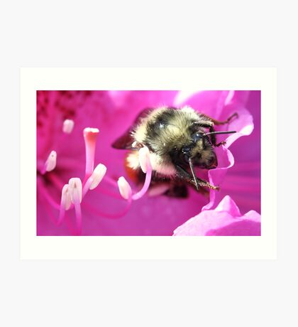 Red-Tail Bumblebee on Rhododendron Art Print