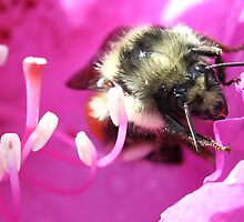 Red-Tail Bumblebee on Rhododendron by Clarissa Stuart