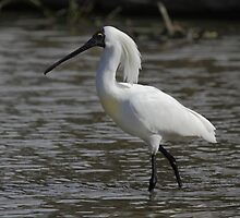 Royal Spoonbill, South Australia  by Carole-Anne