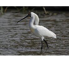 Royal Spoonbill, South Australia  Photographic Print