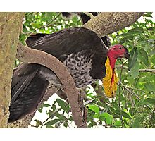 Brush-Turkey Photographic Print