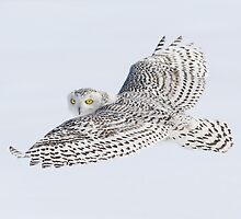 Fixated Glance / Snowy Owl by Gary Fairhead
